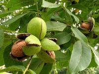 Особенности выращивания грецкого ореха