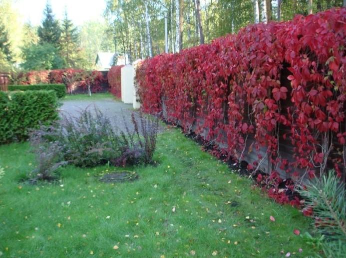 Декоративный виноград на заборе