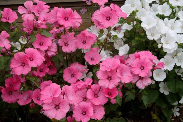 Лаватера розового и белого цветов
