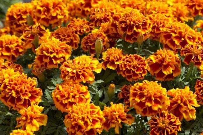 Бархатцы оранжевого цвета