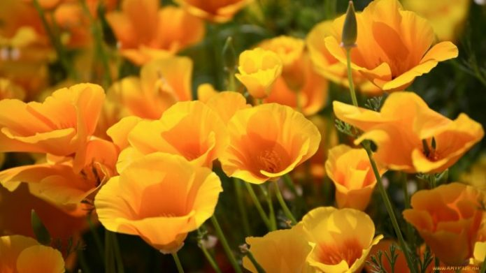 Эшшольция оранжевого цвета