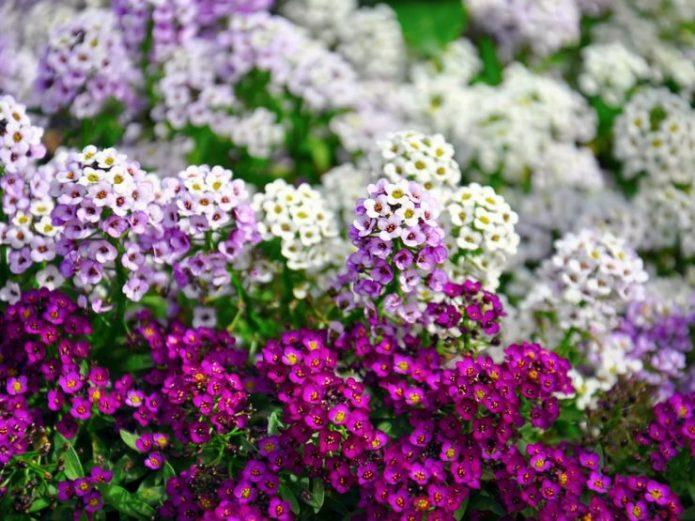 Алиссум сиреневого и белого цветов