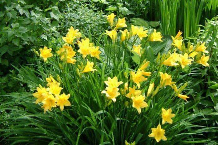 Лилейник желтого цвета