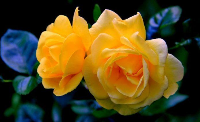 Розы Чайнатаун
