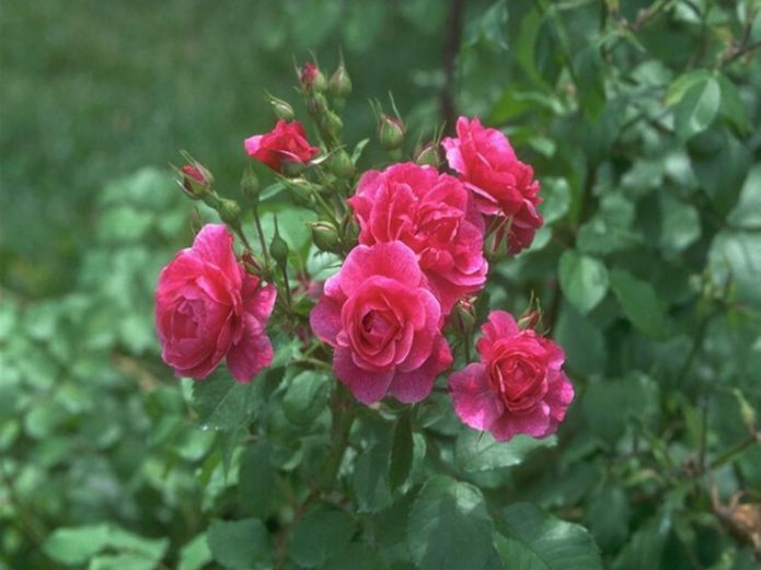 Розы Мари Бауман