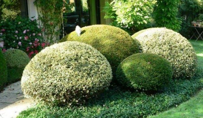 «Сад камней» из бересклета