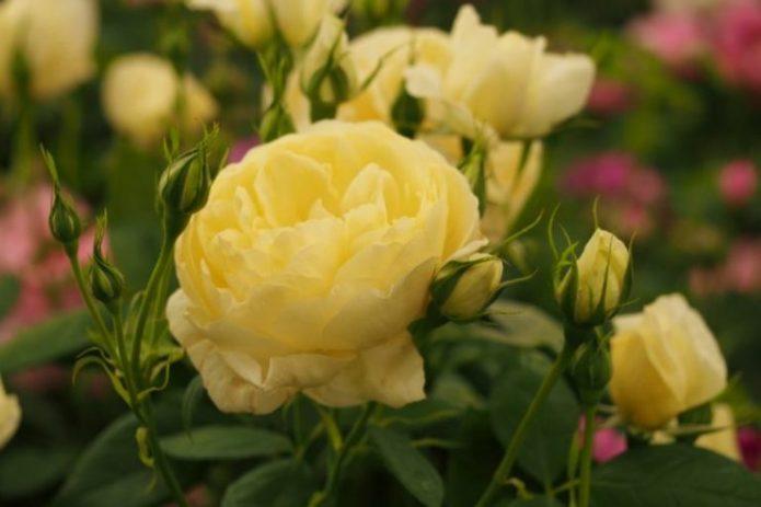 Розы Ванесса Белл