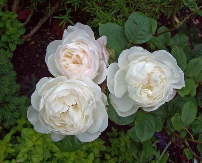 Сорт розы Дездемона