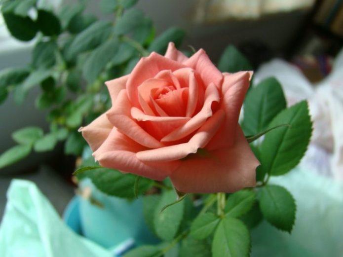 Розы Буш беби