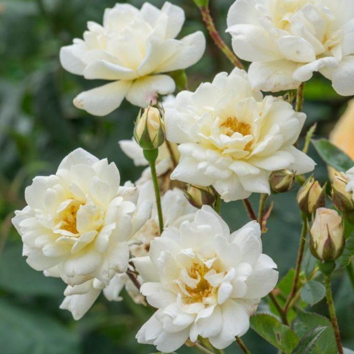 Розы Пур тои