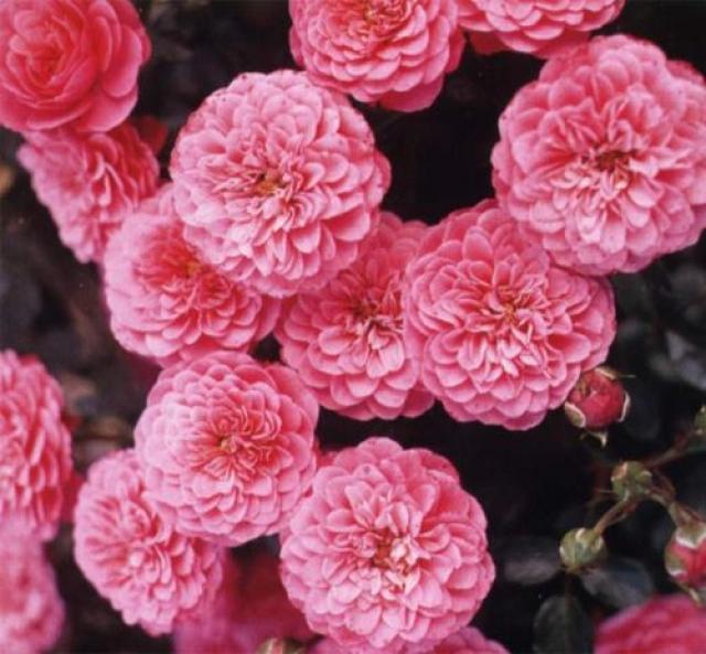 Розы Амулет