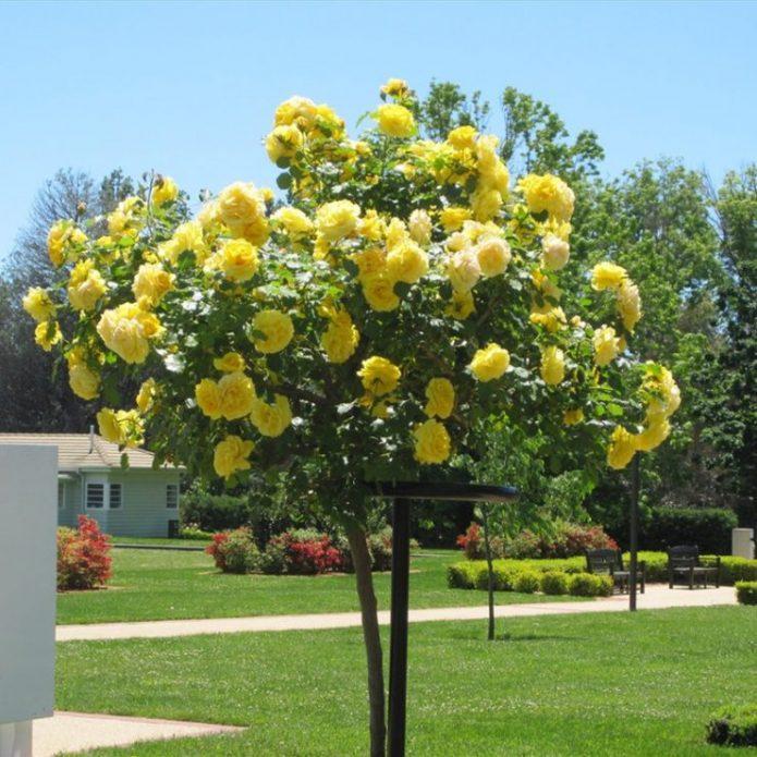 Штамбовые розы Санспрайт