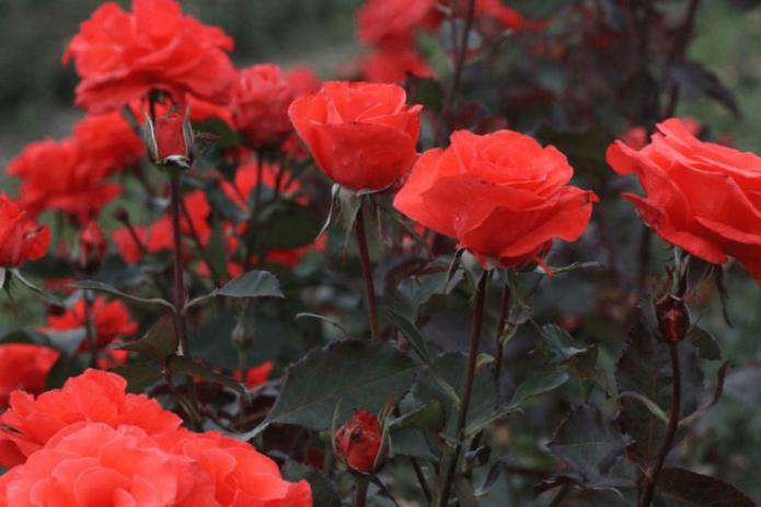 Розы Александер