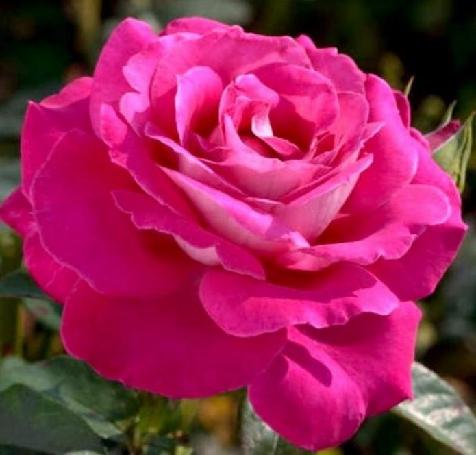 Розы Барон Эдмон де Ротшильд