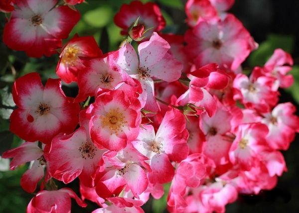 Розы Букаву