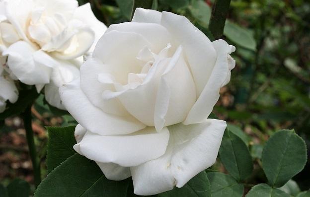 Белая роза сорта Фрау Карл Друшки