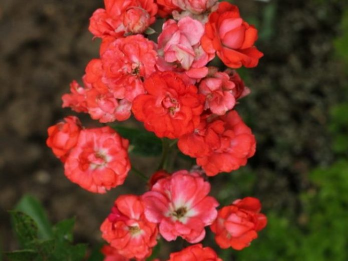 Розы Глория Мунди