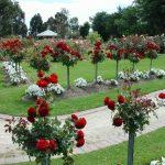 Розы на столбах