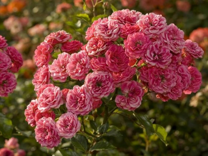 Розы Принц Макс цу Шаумбург