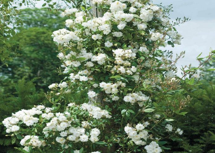 Розы Сноу Гуз