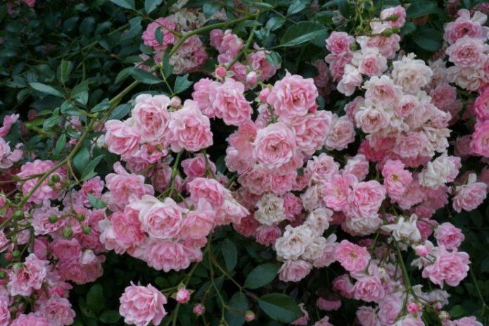 Розы Фейри