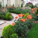 Самшит среди хвойников и роз